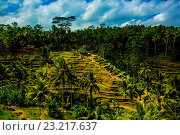Tegalalang Terraced Rice Paddy, Bali, Indonesia, Southeast Asia, Asia. Стоковое фото, фотограф Laura Grier / age Fotostock / Фотобанк Лори