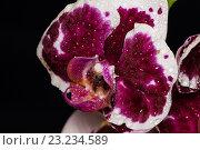 Красивый цветок орхидеи фаленопсис на черном фоне. Стоковое фото, фотограф Екатерина Голубкова / Фотобанк Лори