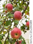 Купить «Яблоки на яблоне», фото № 23234689, снято 8 сентября 2013 г. (c) Юлия Бабкина / Фотобанк Лори