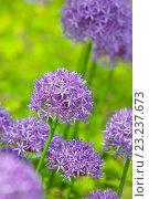 Купить «Purple allium flowers at botanic garden», фото № 23237673, снято 30 мая 2016 г. (c) Татьяна Белова / Фотобанк Лори