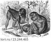 Купить «Southern pig-tailed macaque, Macaca nemestrina, Old World monkey, Cercopithecidae, illustration from book dated 1904.», фото № 23244465, снято 6 января 2014 г. (c) age Fotostock / Фотобанк Лори