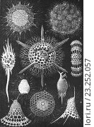 Radiolaria, illustration from book dated 1904. (2013 год). Редакционное фото, фотограф Ivan Vdovin / age Fotostock / Фотобанк Лори