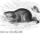 Купить «Plains pocket gopher, Geomys bursarius, illustration from book dated 1904.», фото № 23252245, снято 5 января 2014 г. (c) age Fotostock / Фотобанк Лори