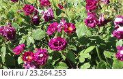Купить «blossoming roses plant», видеоролик № 23264253, снято 13 мая 2016 г. (c) Яков Филимонов / Фотобанк Лори