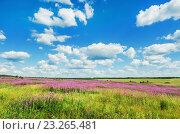 Поле иван-чая. Стоковое фото, фотограф Сергей Завьялов / Фотобанк Лори