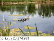 Утка с утятами плавают в пруду. Стоковое фото, фотограф LenaLeonovich / Фотобанк Лори