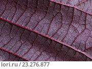 Купить «Фиолетовая фактура орехового листа», фото № 23276877, снято 30 мая 2020 г. (c) Mike The / Фотобанк Лори