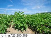 Купить «Цветущее картофельное поле», фото № 23280389, снято 17 июля 2016 г. (c) Елена Коромыслова / Фотобанк Лори