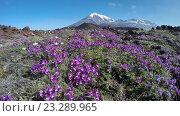 Купить «Полевые цветы на фоне вулканов (4K)», видеоролик № 23289965, снято 16 июля 2018 г. (c) А. А. Пирагис / Фотобанк Лори
