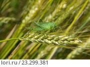 Купить «Кузнечик зелёный (лат. Tettigonia viridissima) на колоске ржи», эксклюзивное фото № 23299381, снято 9 июля 2016 г. (c) Елена Коромыслова / Фотобанк Лори