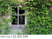 Старое окно без стекла и плети дикого винограда. Стоковое фото, фотограф Маргарита Варенникова / Фотобанк Лори