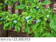 Незрелые плоды сливы на ветке дерева. Стоковое фото, фотограф Виталий Харин / Фотобанк Лори