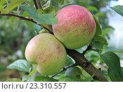 Купить «Яблоки на ветке», фото № 23310557, снято 6 сентября 2014 г. (c) Азаркевич Андрей / Фотобанк Лори