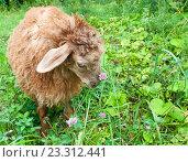 Купить «Смешная коричневая овца пасется на зеленой травке», фото № 23312441, снято 25 июля 2016 г. (c) Екатерина Овсянникова / Фотобанк Лори