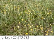 Купить «Бессмертник песчаный (лат. Helichrysum arenarium), цветущий на лугу», эксклюзивное фото № 23313793, снято 12 декабря 2017 г. (c) Svet / Фотобанк Лори
