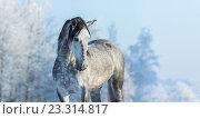 Испанская лошадь в зимнем лесу. Стоковое фото, фотограф Абрамова Ксения / Фотобанк Лори