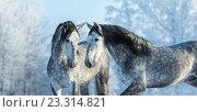 Пара испанских лошадей в зимнем лесу. Стоковое фото, фотограф Абрамова Ксения / Фотобанк Лори