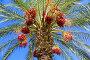Финиковая пальма с финиками на фоне голубого неба, фото № 23315061, снято 26 ноября 2015 г. (c) Наталья Волкова / Фотобанк Лори
