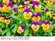 Купить «Оранжево-сиреневые анютины глазки», фото № 23315337, снято 1 июля 2016 г. (c) Зезелина Марина / Фотобанк Лори