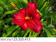 Красный цветок на фоне зеленой травы. Стоковое фото, фотограф Синицын Юрий Альбертович / Фотобанк Лори