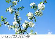 Цветущая яблоня на фоне неба. Стоковое фото, фотограф Ноева Елена / Фотобанк Лори