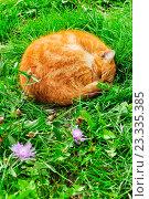 Купить «Рыжая кошка спит в траве», фото № 23335385, снято 9 сентября 2015 г. (c) Зезелина Марина / Фотобанк Лори