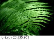 Купить «Leaf of fern», фото № 23335961, снято 1 июня 2016 г. (c) Татьяна Белова / Фотобанк Лори