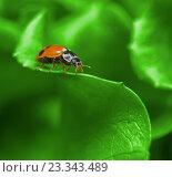 Божья коровка на зеленом листе. Стоковое фото, фотограф Алексей Безрук / Фотобанк Лори