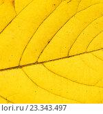 Текстура желтого осеннего листа. Стоковое фото, фотограф Алексей Безрук / Фотобанк Лори