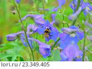 Купить «Шмель сидит на голубом цветке», фото № 23349405, снято 27 июня 2016 г. (c) Максим Мицун / Фотобанк Лори