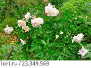 Купить «Куст розовых пионов Сара Бернар растёт на грядке», фото № 23349569, снято 27 июня 2016 г. (c) Максим Мицун / Фотобанк Лори