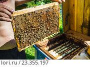 Рабочие пчелы на сотах. Стоковое фото, фотограф Олег Жуков / Фотобанк Лори