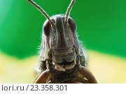Кузнечик. Стоковое фото, фотограф Aleksandr Tishkov / Фотобанк Лори