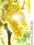 Купить «Green grape on vineyard», фото № 23360361, снято 22 сентября 2015 г. (c) Дмитрий Калиновский / Фотобанк Лори