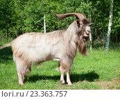 Купить «Рогатая коза на открытом воздухе», фото № 23363757, снято 1 июля 2016 г. (c) Алексей Кузнецов / Фотобанк Лори