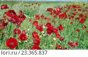 Купить «blossoming wild red poppies», видеоролик № 23365837, снято 4 июня 2016 г. (c) Яков Филимонов / Фотобанк Лори
