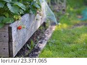 Вид на созревающие ягоды клубники на грядке. Стоковое фото, фотограф Светлана Скрипник / Фотобанк Лори