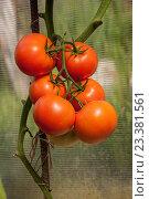 Гроздь помидоров. Стоковое фото, фотограф Фотин Андрей / Фотобанк Лори
