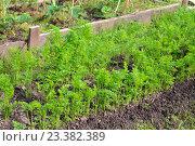 Купить «Молодая рассада моркови на грядке в солнечный день», фото № 23382389, снято 14 июля 2016 г. (c) Максим Мицун / Фотобанк Лори