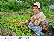 Купить «Пожилая женщина садовод сидит у грядки земляники на садовом участке», фото № 23382429, снято 27 июня 2016 г. (c) Максим Мицун / Фотобанк Лори