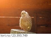 Купить «Портрет пустельги, сидящей на пеньке с поджатой лапкой и греющейся на солнце», фото № 23393749, снято 12 августа 2016 г. (c) Зезелина Марина / Фотобанк Лори