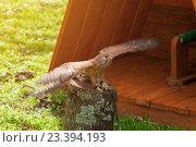 Купить «Пустельга - Falco tinnunculus - сидящая на пне с расправленными крыльями», фото № 23394193, снято 12 августа 2016 г. (c) Зезелина Марина / Фотобанк Лори