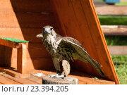Купить «Сокол Балобан - хищная птица семейства соколиных в неволе», фото № 23394205, снято 12 августа 2016 г. (c) Зезелина Марина / Фотобанк Лори