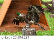 Купить «Коршун чёрный (Milvus migrans) в неволе  — хищная птица семейства ястребиных», фото № 23394221, снято 12 августа 2016 г. (c) Зезелина Марина / Фотобанк Лори