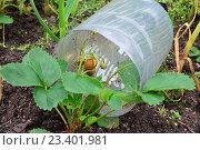Купить «Куст клубники и зреющие ягоды, лежащие на разрезанной пластиковой бутыли», фото № 23401981, снято 27 июня 2016 г. (c) Максим Мицун / Фотобанк Лори