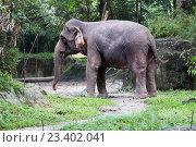 Купить «Индийский слон», фото № 23402041, снято 24 ноября 2014 г. (c) Галина Савина / Фотобанк Лори