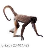 Купить «long-haired spider monkey», фото № 23407429, снято 7 августа 2014 г. (c) Яков Филимонов / Фотобанк Лори