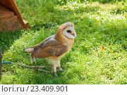 Купить «Обыкновенная сипуха - Tyto Alba - в неволе. Портрет совы сипухи с путенками на лапках», фото № 23409901, снято 12 августа 2016 г. (c) Зезелина Марина / Фотобанк Лори
