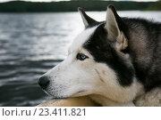 Задумчивый пес хаски в лодке на ладожских шхерах, Карелия, фото № 23411821, снято 9 июля 2016 г. (c) Сергей Александров / Фотобанк Лори