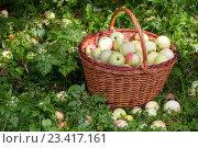 Купить «Полная корзина яблок нового урожая стоит под плодовым деревом на дачном участке», фото № 23417161, снято 20 августа 2016 г. (c) Николай Винокуров / Фотобанк Лори
